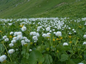 Photo of cotton